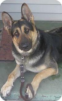 German Shepherd Dog Dog for adoption in Brooklyn, New York - Zeus