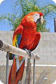 Macaw for adoption in Redlands, California - Rio