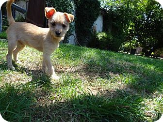 Terrier (Unknown Type, Small) Mix Puppy for adoption in Goleta, California - Wires
