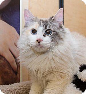 Ragdoll Cat for adoption in Irvine, California - Paris