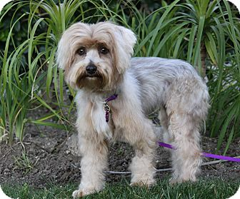 Yorkie, Yorkshire Terrier Mix Dog for adoption in Newport Beach, California - AUTUMN