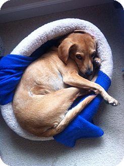 Beagle/Dachshund Mix Dog for adoption in Hollister, California - Brooke