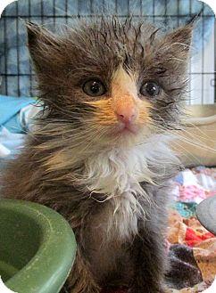 Domestic Mediumhair Kitten for adoption in Marseilles, Illinois - Ellis