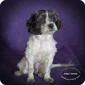 Poodle (Miniature)/Cocker Spaniel Mix Puppy for adoption in Rancho Mirage, California - Sammy