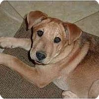 Adopt A Pet :: Bradley - Raleigh, NC