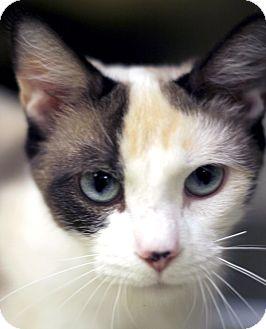 Siamese Cat for adoption in Adrian, Michigan - Celeste
