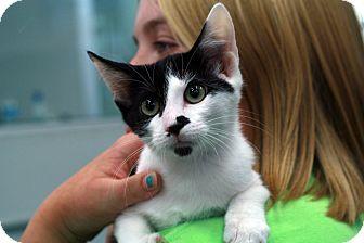 Domestic Shorthair Kitten for adoption in St. Louis, Missouri - Nibbles