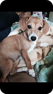 Dachshund/Chihuahua Mix Puppy for adoption in Rancho Cucamonga, California - Riley