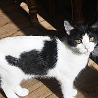 Domestic Shorthair Cat for adoption in Rawlins, Wyoming - April