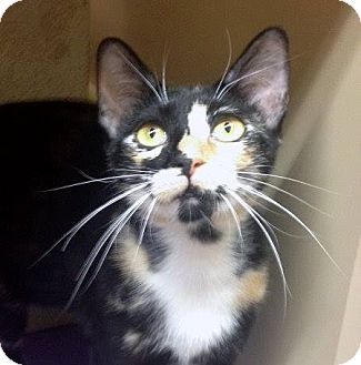 Domestic Shorthair Cat for adoption in Weatherford, Texas - Gypsy