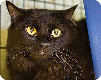 Domestic Longhair Cat for adoption in Bulverde, Texas - Storm