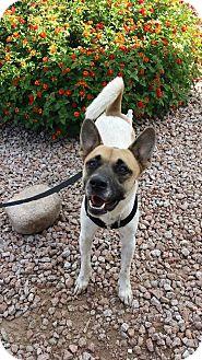 Akita/Shepherd (Unknown Type) Mix Dog for adoption in Mesa, Arizona - GRIFFON  2.5 YR AKITA MIX MALE
