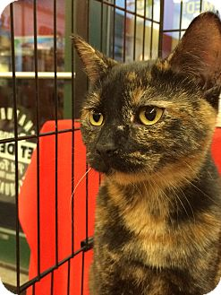 Domestic Shorthair Kitten for adoption in Edgewater, New Jersey - Tribecca
