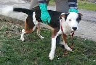 Australian Shepherd Mix Dog for adoption in Prestonsburg, Kentucky - hankie