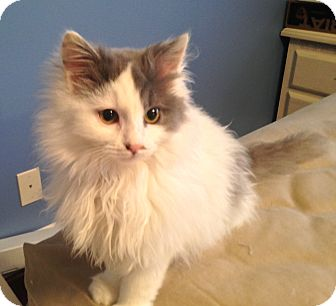 Domestic Longhair Kitten for adoption in LaGrange, Kentucky - MOE