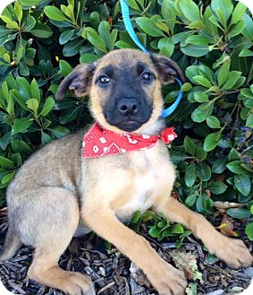 Shepherd (Unknown Type) Mix Puppy for adoption in Corona, California - GINGER