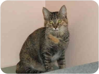 Domestic Shorthair Cat for adoption in Sterling Heights, Michigan - Cider