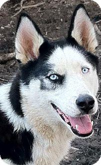 Siberian Husky Dog for adoption in Memphis, Tennessee - Herra