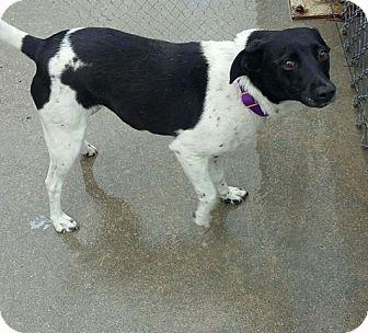 Rat Terrier Mix Dog for adoption in Lisbon, Iowa - Gretchen