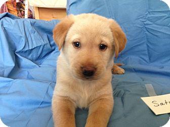 Labrador Retriever/Siberian Husky Mix Puppy for adoption in Minneapolis, Minnesota - Planet Litter - Saturn