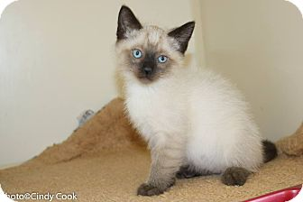Siamese Kitten for adoption in Ann Arbor, Michigan - Malkin