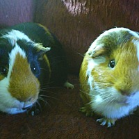 Adopt A Pet :: Baxter & Cruiser - San Antonio, TX