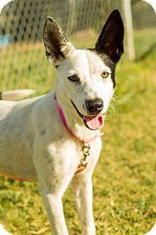 Border Collie Mix Dog for adoption in Texico, Illinois - Mattie
