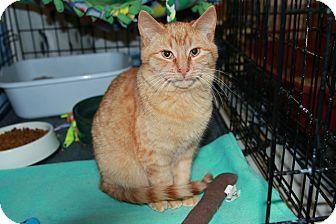 Domestic Shorthair Kitten for adoption in Rochester, Minnesota - Pickles