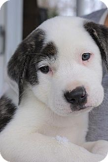 Terrier (Unknown Type, Small) Mix Puppy for adoption in Danbury, Connecticut - Harry