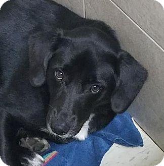 Retriever (Unknown Type)/Spaniel (Unknown Type) Mix Dog for adoption in Philadelphia, Pennsylvania - Icey