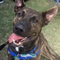 Adopt A Pet :: Ranger - Wimberley, TX