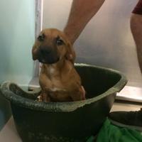 Adopt A Pet :: Doodle - Winchester, TN