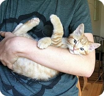 Domestic Shorthair Kitten for adoption in Littleton, Colorado - Pumpkin