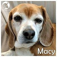 Adopt A Pet :: Macy - Novi, MI
