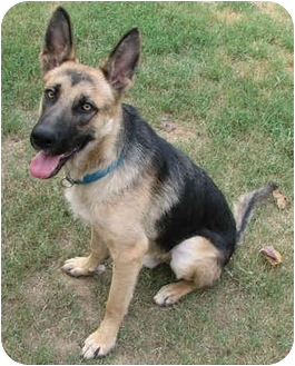 German Shepherd Dog Dog for adoption in Brattleboro, Vermont - Sambo