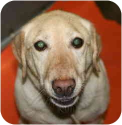 Labrador Retriever Mix Dog for adoption in Staunton, Virginia - Daisy