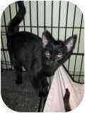 Domestic Shorthair Cat for adoption in Columbiaville, Michigan - Pumpkin