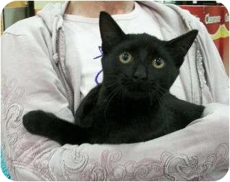Domestic Shorthair Kitten for adoption in Reston, Virginia - Chandler