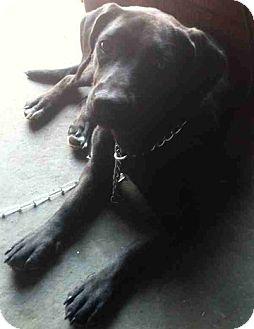 Basset Hound/Labrador Retriever Mix Dog for adoption in Tahlequah, Oklahoma - Ebony