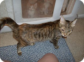 Abyssinian Cat for adoption in Scottsdale, Arizona - Brownie- Courtesy Post