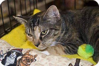 Calico Cat for adoption in New Port Richey, Florida - Huny Buny