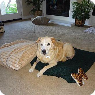 Golden Retriever Mix Dog for adoption in Santa Monica, California - Chaya