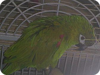 Macaw for adoption in Punta Gorda, Florida - Bucky