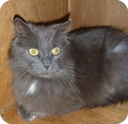Domestic Longhair Cat for adoption in Hamburg, New York - Gabby