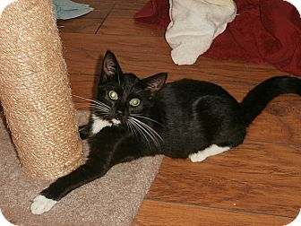 American Shorthair Kitten for adoption in Tampa, Florida - Ty