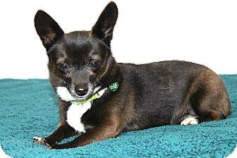 Chihuahua/Pomeranian Mix Dog for adoption in Temecula, California - Oliver- I am easy & calm