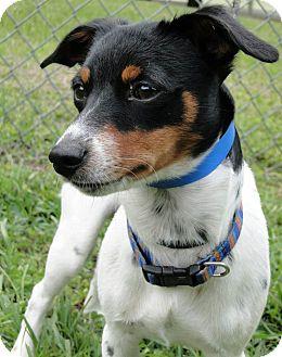 Rat Terrier Mix Dog for adoption in Brooksville, Florida - 1023140 Schroeder