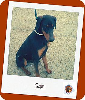 Doberman Pinscher Dog for adoption in Albuquerque, New Mexico - Sammy (Adopt Pend)