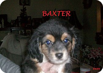 Beagle Mix Puppy for adoption in Ventnor City, New Jersey - BAXTER