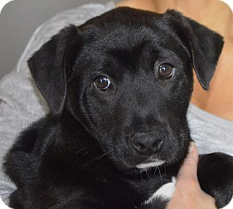 Labrador Retriever Mix Puppy for adoption in East Windsor, Connecticut - Bear-adoption in progress